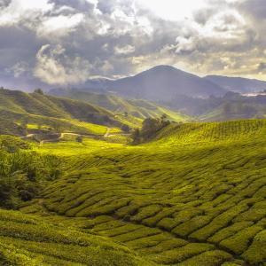 紅茶の産地を見ていこう インド編