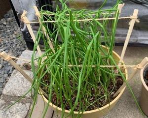 【野菜栽培】九条ネギの栽培日記①種植え〜育苗