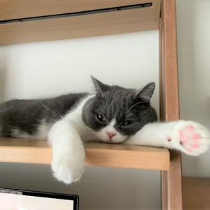 ストルバイト治療5カ月目・尿検査ついでの肛門腺絞りで激怒りな猫