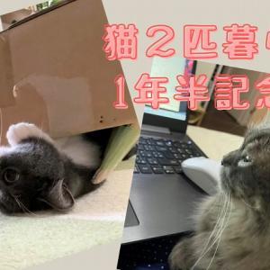 猫2匹飼いも1年半! コロ・さとも日々進化&性格変化中な幸せな日々