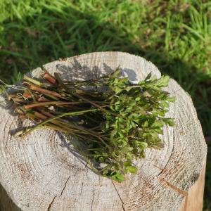 草を喰む。おうちで摘み草料理と参りましょう。