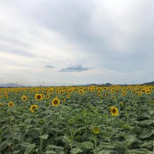 【岡山県笠岡市】ひまわり畑でつかまえて