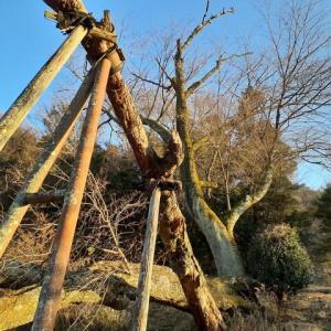冬日和の川島の大桜