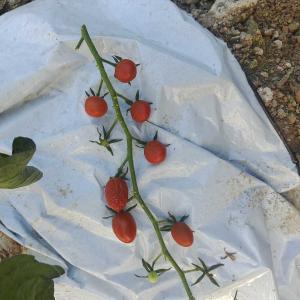 干からびたミニトマト