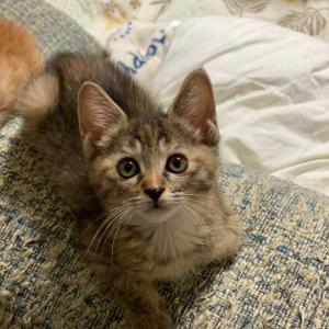仔猫の成長!小虎君持ち直しました!【名古屋市愛護センター保護猫預かりボランティア】