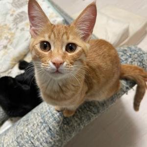 保護猫、茶太五郎の失踪【名古屋市愛護センター保護猫預かりボランティア】