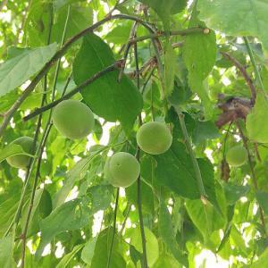 大豊作の梅でシロップ作り♡