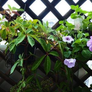 紫陽花が発芽した日のベランダガーデン