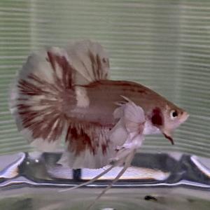 ベタは魚体の大きさも魅力の一つ