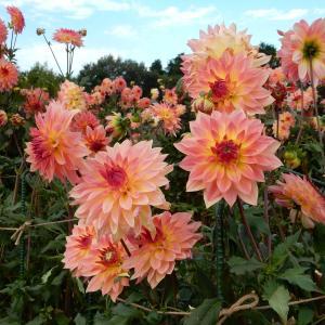 ダリア・ティータイム:世羅高原農場(広島県世羅町)