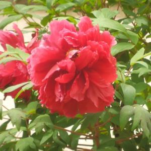 大根島・由志園の花と情景 1(島根県松江市)