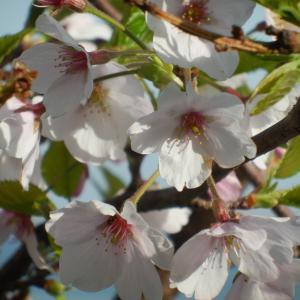 桜の移植に思う