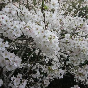今年も桜が