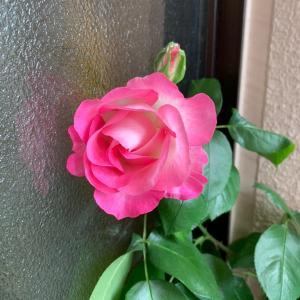 薔薇に癒される