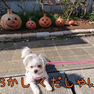 パパのお誕生日会&こたつで丸くなる犬&寒い日のお散歩&小松菜収穫開始&かわいいペアマノンセール