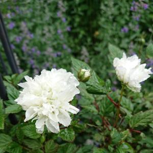 """庭造りの方法 (34) """"地下茎で、広がり過ぎる植物"""""""