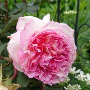 バラが綺麗に咲いたら…
