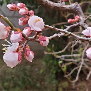 ククサ作りは停滞してますが、梅は開花しました。