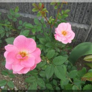 ミニバラがちらほら咲き始めた我が家