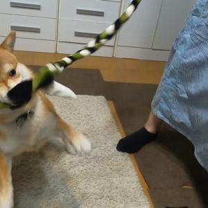 トラストミーロープで引っ張りっこしてみた!【豆柴犬「はる」生後7ヶ月】