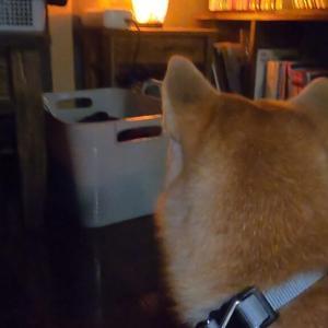 ランプに突然吠えだした豆柴!【豆柴犬「はる」生後7ヶ月】