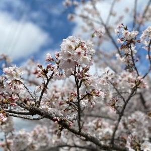 愛犬と満開桜を見に行ったよ♡