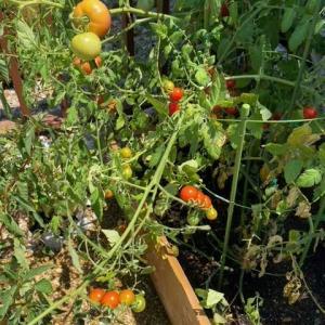 久しぶりに家庭菜園の話題・・・