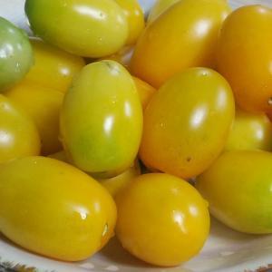 トマトが 黄色くなってきました