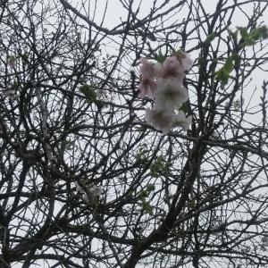 10月桜と曼珠沙華が 早くも咲き始めました