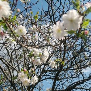 10月桜がさらに咲いてます。赤の曼珠沙華も【旧秋元別亭】