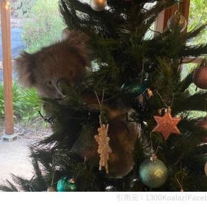 クリスマスツリーの飾りになったコアラ!果たしてどうなる?