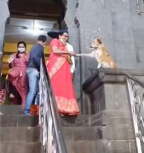 寺院で握手をさずける神々しい看板犬♪握手をすると幸運になる?