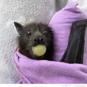 保護されたコウモリの赤ちゃん、初めてのフルーツを体験♪