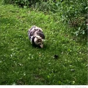 ネコバスみたいな動物発見!?12匹の赤ちゃんを背負って歩くオポッサム