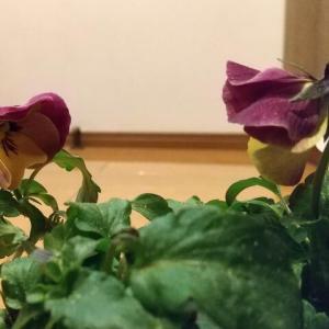 こぼれ咲きパンジー プレンティフォール