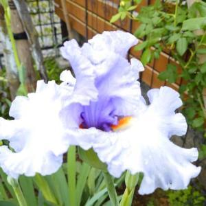 涼やかに咲くブルーの花たち