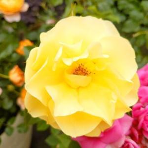 早咲きの薔薇はピークを過ぎたけど、まだまだ咲きますよ