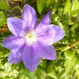 クレマチスパストラーレの2番花が咲いたよ🎵