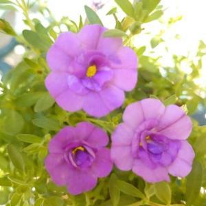 八重咲きのカリブラコアが綺麗です🎵