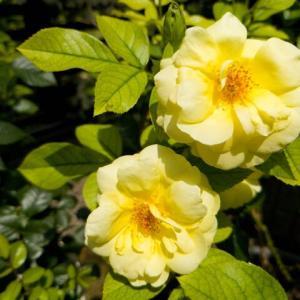 薔薇が綺麗に咲いています🎶