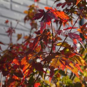 我が家の紅葉もようやく始まりました