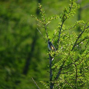 亜高山の小鳥たち 2 ・・・