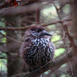 亜高山の小鳥たち 3 ・・・