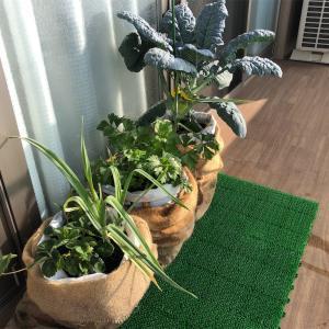 ベランダ菜園@経過観察54日目、傾いたブロッコリーを支える。