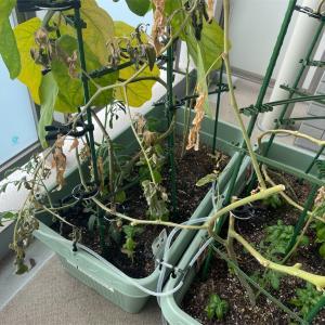 ベランダ菜園@夏作138日目、トマト枯れそう。