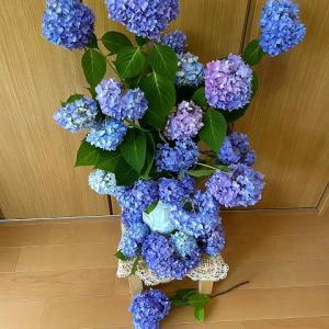 古木紫陽花