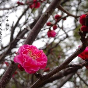 コロナ禍は去らず二度目の梅の花
