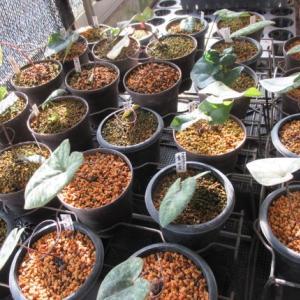 カンアオイの栽培の近況