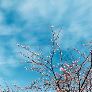 今日の一枚【青空と寒桜】