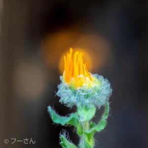 アラビアンコーストの花